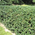 residential fencing american holly hedge